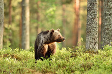 Brown Bear In Forest Scenery A...