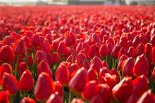 A Field Of Red Tulips In Hille...