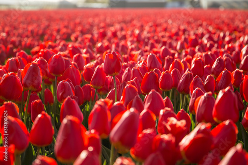 Fotografie, Obraz  A field of red tulips in Hillegom, Holland