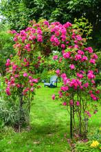 A John Cabot Rose Climbing An Arbor In A Back Yard Garden.