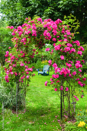 Fényképezés A John Cabot rose climbing an arbor in a back yard garden.