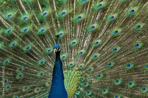 Fotografie, Tablou Blaue Pfau (Pavo cristatus)Pfau, Hahn, Rad,