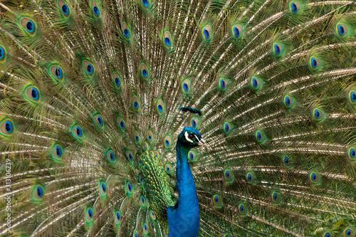 Blaue Pfau (Pavo cristatus)Pfau, Hahn, Rad, Tablou Canvas