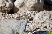 Northern Curly-tailed Lizard (...
