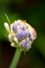 Dreamy Closeup Of Agapanthus F...