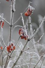 Snowball Bush Berries