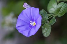 Morning Glory Creeper Plant Wi...
