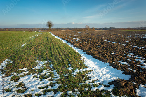 Photo Green winter cereal, snow and plowed field