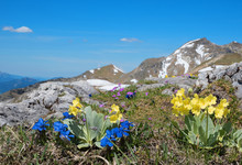 Alpine Flora With Blue Gentian...
