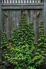 Climbing Hydrangea On Wooden W...