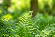 Thickets Of Green Fern In A Wi...