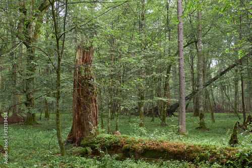 Fotografie, Obraz Summertime deciduous primeval forest with old trees
