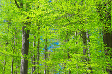 Beech Trees With Green Leaves ...