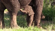 A Newborn Elephant Calf, Just ...