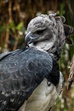 American Harpy Eagle Close Up