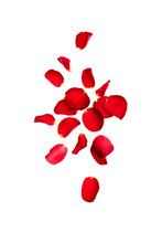 Red Rose Petals Fly In The Air...