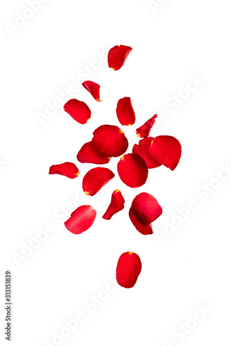 Obraz Red rose petals fly in the air.  Isolate on white background with space for text. Layout for Valentine's day cards, wedding, March 8, birthday, mother's Day - fototapety do salonu