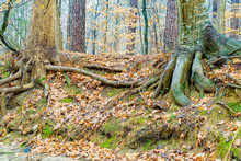 Two Old Trees With Entwined Roots On An Eroded Stream Bank.
