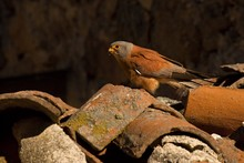 The Lesser Kestrel (Falco Naumanni) Sitting On The Old Crashed Roof.