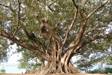 Old Tree Of Ficus Macrophylla ...