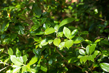 Green Bright Leaves Gardenia J...