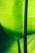 canvas print picture - Exotisches, tropisches, abstraktes Bananen Blatt als Hintergrund