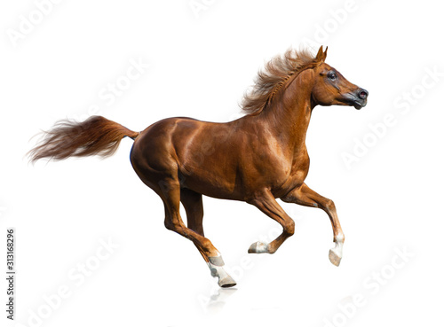 Beautiful chestnut arabian stallion Fototapete