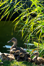 Mallard Duck With Ducklings In...