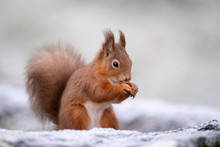 Portrait Of Red Squirrel Eatin...