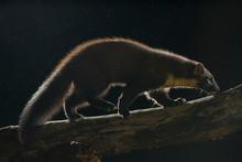 European Pine Marten Walking On Branch At Night