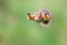 Red Squirrel Jumping