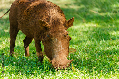 Photo A Warthog (Phacochoerus africanus) goraging for food in grass, taken in South Af