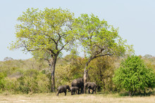 African Elephant (Loxodonta Africana) Family Cleaning Themselves On Large Trees