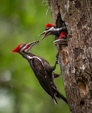 Pileated Woodpecker Nest In Fl...
