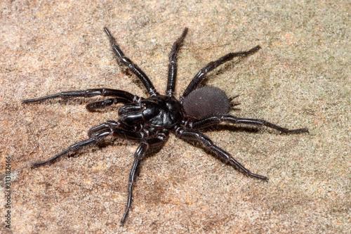 Sydney Funnel Web Spider Canvas Print