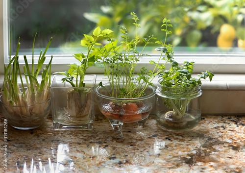 Fototapeta Indoor herbs water garden at granite kitchen counter. obraz