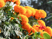 A Bunch Of Marigold Flower (Tagetes Perennial Herbaceous Plants In Sunflower Family Asteraceae) In Bloom In A Botanical Garden. Close Up. Nature Background