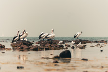 Group Of Pelicans On The Beach...