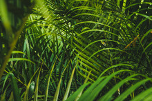 Palm Tree  Leaves Inside Tropical Garden Or Jungle  -