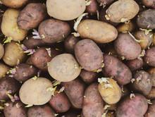 Germinated Seed Potatoes