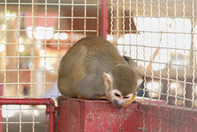 The Squirrel Monkey Is Bowing Down At The Red Metal Platform Inside The Cage.