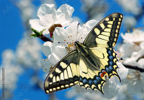 Fototapeta Swallowtail butterfly on a branch of blooming cherry