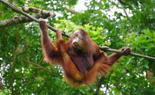 Orangutan monkey playing on the tree Wallpaper Mural
