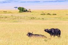 African Savannah Landscape With Two Buffalos In The High Grass