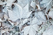 White Frozen Leaves At The Gro...