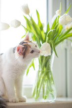 Cute Funny Ginger Cat Plays With White Flowers Tulips With Green Leaves