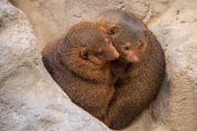 Two Common Dwarf Mongooses (He...