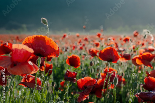 blooming field of red poppy flowers at sunset. abstract nature blur. nature scenery with blurred background in evening light - 313264432