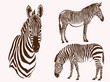 Graphical vintage set of zebras , vector illustration, elements for design