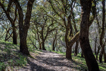 Wide Dirt Path Heads Between Many Large Mature Oak Trees With Fresh New Leaves At Sugarloaf Ridge State Park